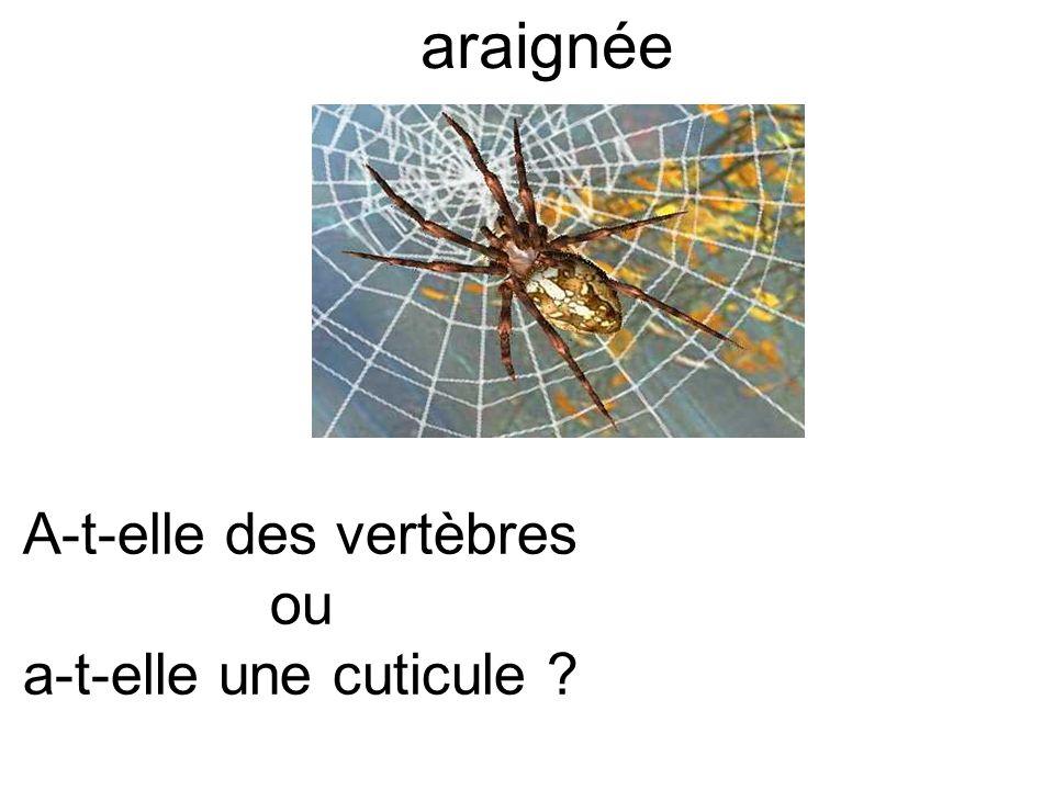 araignée A-t-elle des vertèbres ou a-t-elle une cuticule ?