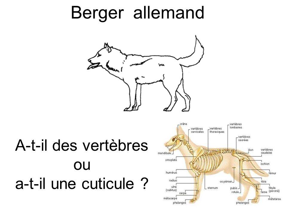 Berger allemand A-t-il des vertèbres ou a-t-il une cuticule ?