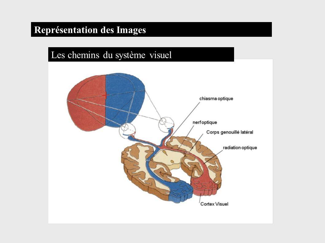 Les chemins du système visuel Représentation des Images