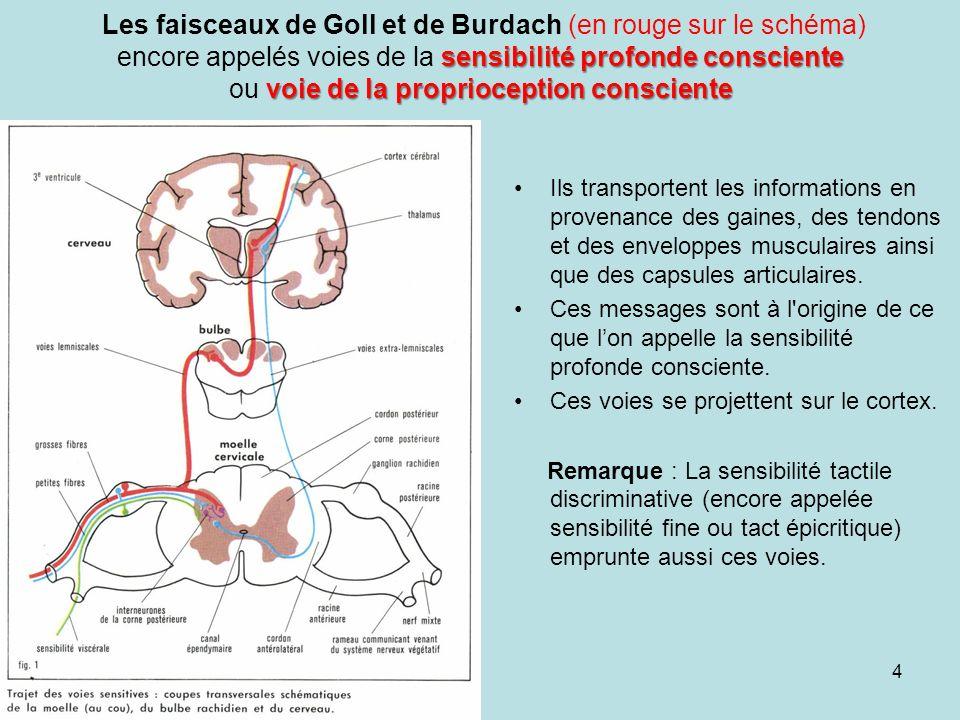faisceaux spino-cérébelleux direct et croisé sensibilité profonde inconsciente ou voies proprioceptives inconsciente Les faisceaux spino-cérébelleux direct et croisé encore appelés voies de la sensibilité profonde inconsciente ou voies proprioceptives inconsciente (en bleu sur le schéma) Ils transportent les influx issus des récepteurs musculaires (fuseaux neuromusculaires et des organes tendineux de Golgi) Les deux faisceaux se projettent au niveau du cervelet et permettent à cet organe d exercer un rôle de régulation du tonus musculaire, de coordination des mouvements et d équilibration.