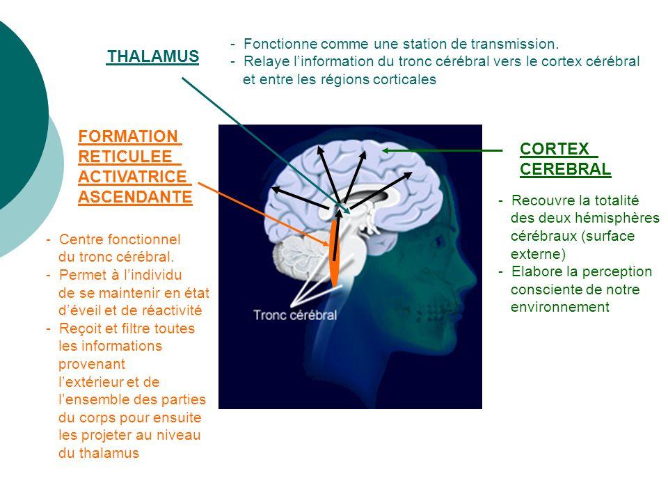 CORTEX CEREBRAL FORMATION RETICULEE ACTIVATRICE ASCENDANTE THALAMUS - Fonctionne comme une station de transmission. - Relaye linformation du tronc cér