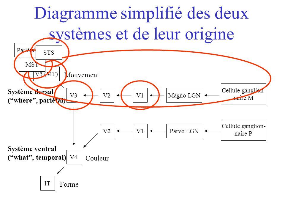 Cellule ganglion- naire M Cellule ganglion- naire P Magno LGN Parvo LGNV1 V2V3 V2 V5 (MT) Pariétal V4 IT Couleur Forme Mouvement Diagramme simplifié des deux systèmes et de leur origine Système ventral (what, temporal) Système dorsal (where, pariétal) MSTSTS