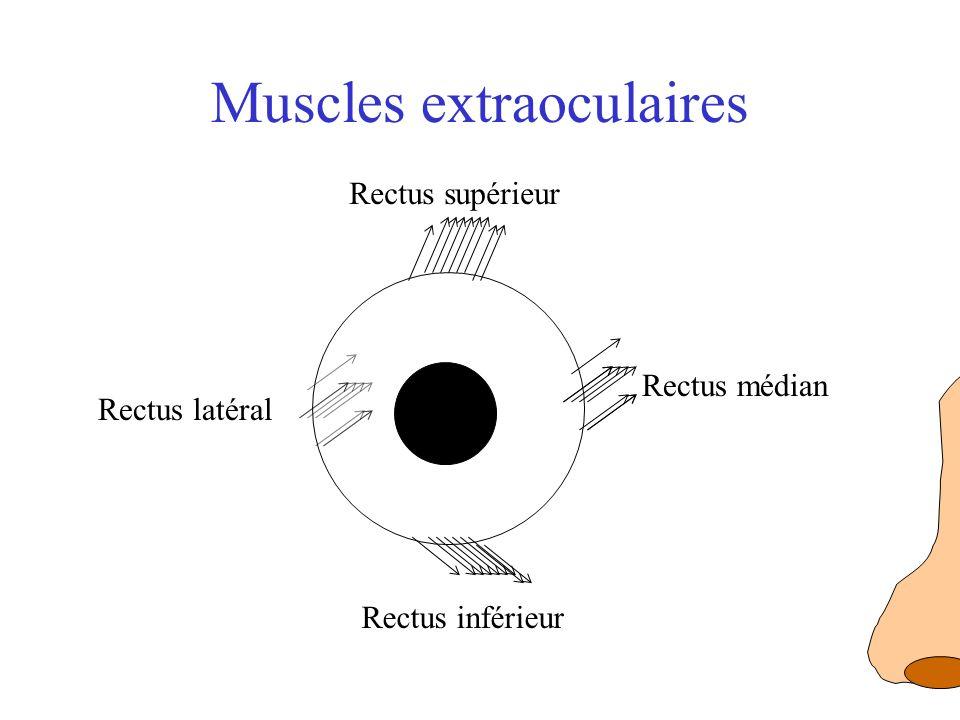 Muscles extraoculaires Rectus supérieur Rectus inférieur Rectus médian Rectus latéral