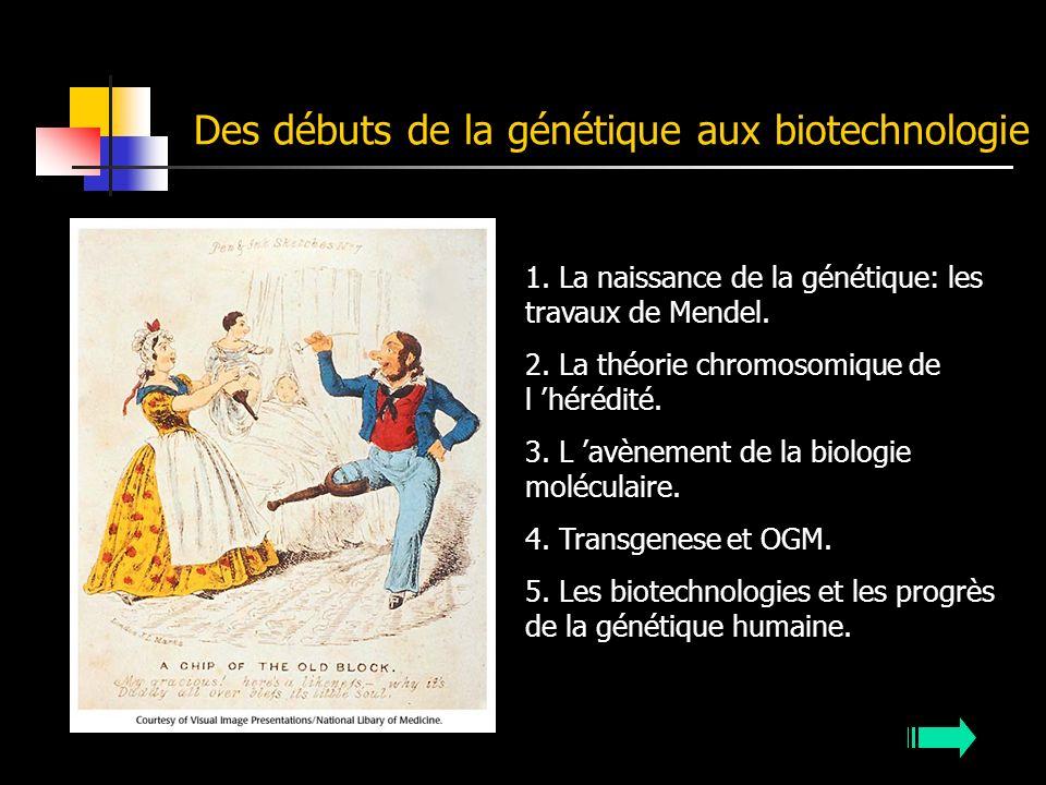 Des débuts de la génétique aux biotechnologie 1. La naissance de la génétique: les travaux de Mendel. 2. La théorie chromosomique de l hérédité. 3. L