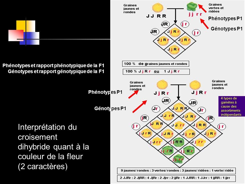Interprétation du croisement dihybride quant à la couleur de la fleur (2 caractères) 4 types de gamètes à cause des assortiments indépendants Phénotyp