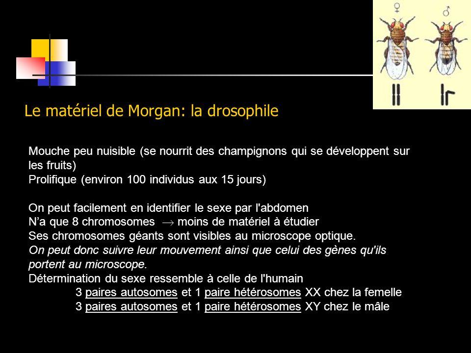Le matériel de Morgan: la drosophile Mouche peu nuisible (se nourrit des champignons qui se développent sur les fruits) Prolifique (environ 100 indivi