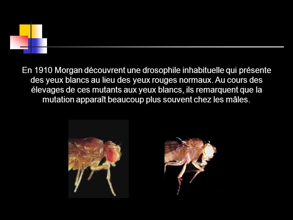 En 1910 Morgan découvrent une drosophile inhabituelle qui présente des yeux blancs au lieu des yeux rouges normaux. Au cours des élevages de ces mutan
