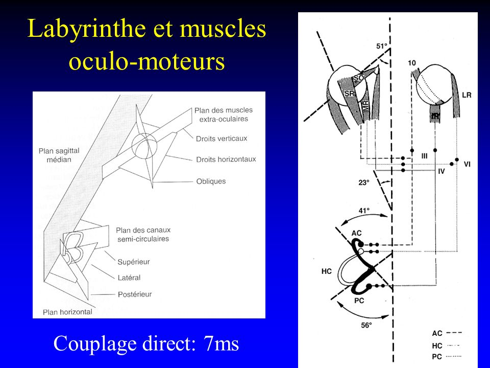 Labyrinthe et muscles oculo-moteurs Couplage direct: 7ms
