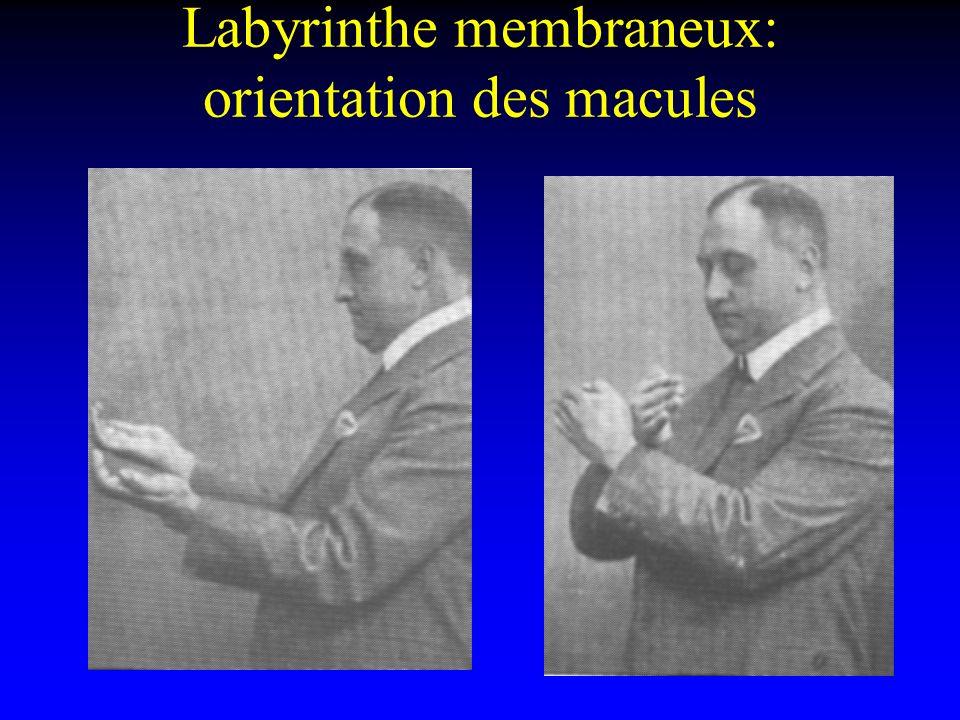 Labyrinthe membraneux: orientation des macules
