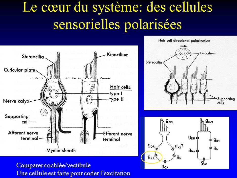 Le cœur du système: des cellules sensorielles polarisées Comparer cochlée/vestibule Une cellule est faite pour coder lexcitation