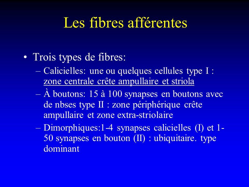 Les fibres afférentes Trois types de fibres: –Calicielles: une ou quelques cellules type I : zone centrale crête ampullaire et striola –À boutons: 15