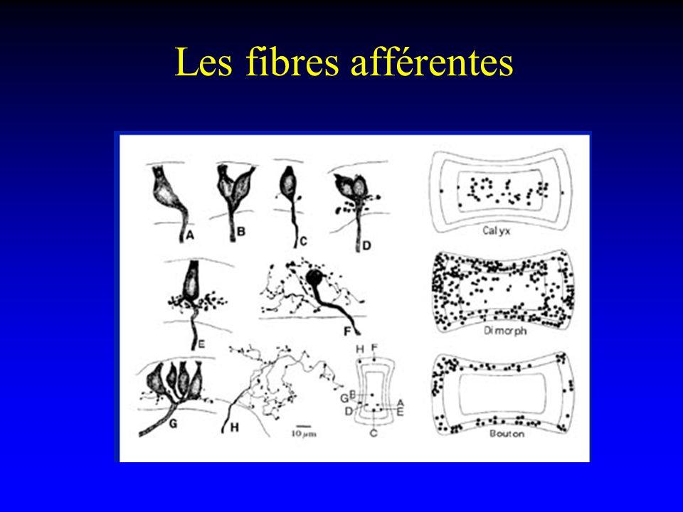 Les fibres afférentes