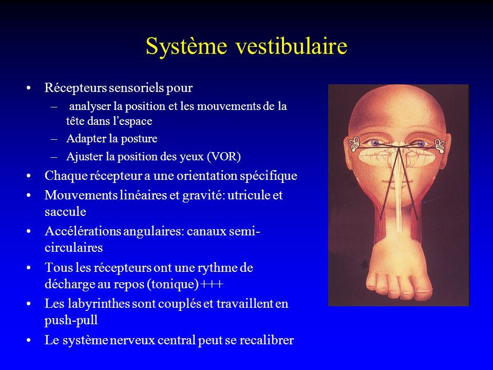 Système vestibulaire Récepteurs sensoriels pour – analyser la position et les mouvements de la tête dans lespace –Adapter la posture –Ajuster la posit