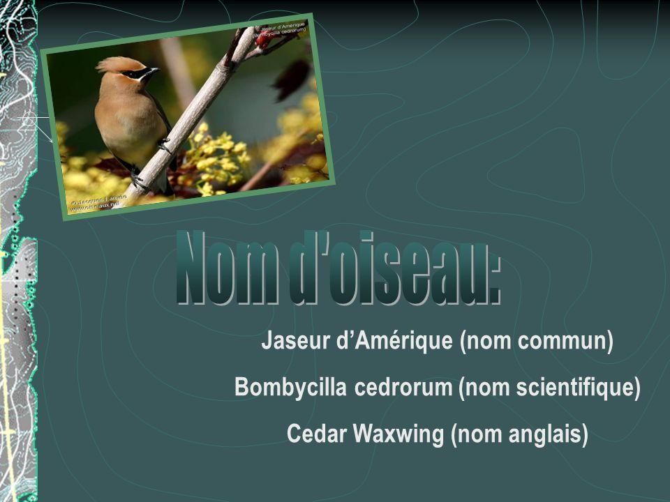 Jaseur dAmérique (nom commun) Bombycilla cedrorum (nom scientifique) Cedar Waxwing (nom anglais)