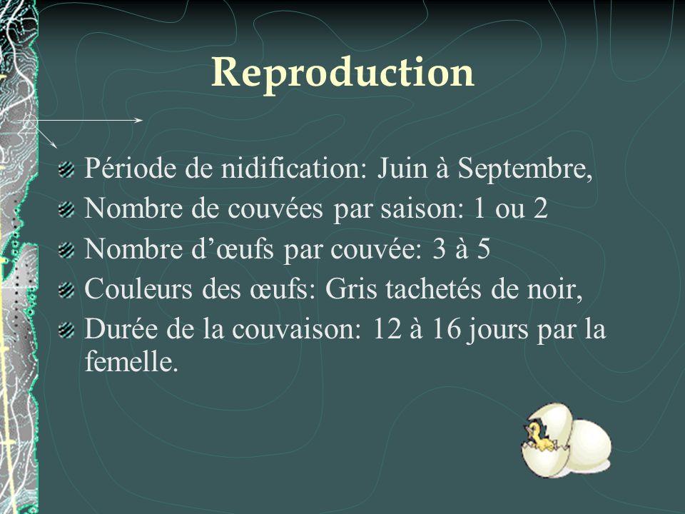 Reproduction Période de nidification: Juin à Septembre, Nombre de couvées par saison: 1 ou 2 Nombre dœufs par couvée: 3 à 5 Couleurs des œufs: Gris tachetés de noir, Durée de la couvaison: 12 à 16 jours par la femelle.