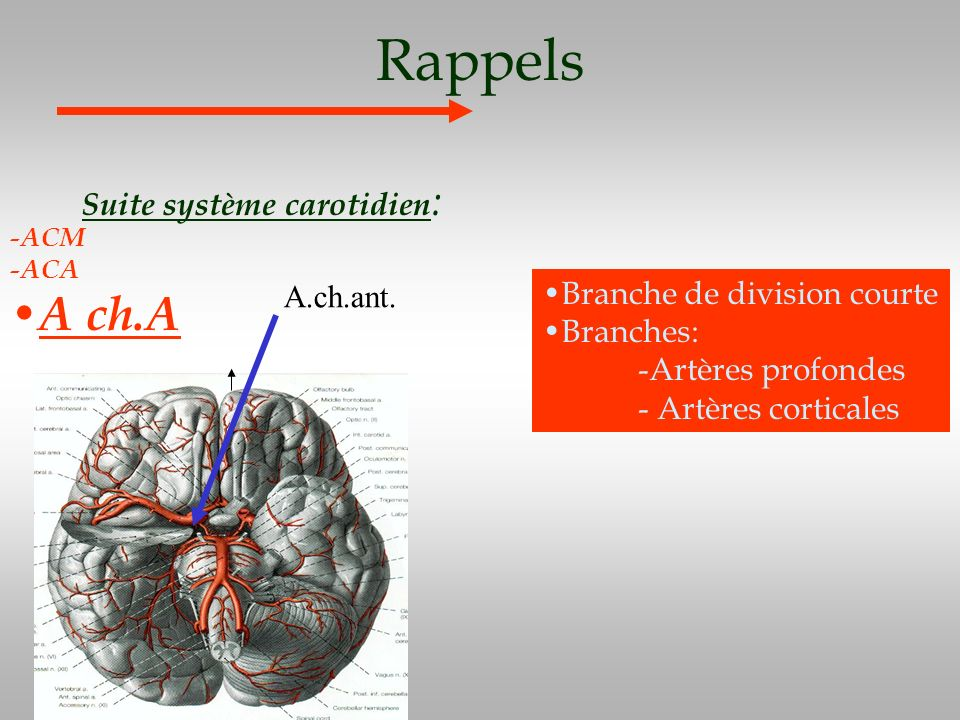 Rappels Suite système carotidien : -ACM -ACA A ch.A Branche de division courte Branches: -Artères profondes - Artères corticales A.ch.ant.