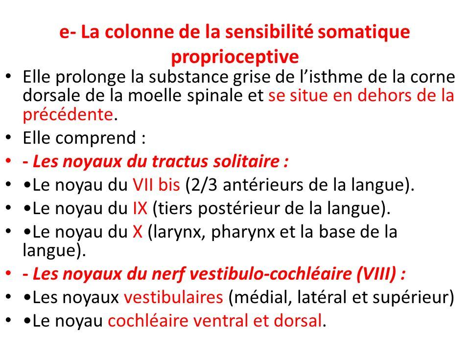 e- La colonne de la sensibilité somatique proprioceptive Elle prolonge la substance grise de listhme de la corne dorsale de la moelle spinale et se si
