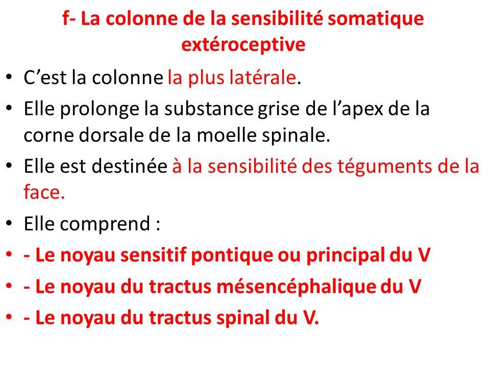 f- La colonne de la sensibilité somatique extéroceptive Cest la colonne la plus latérale. Elle prolonge la substance grise de lapex de la corne dorsal