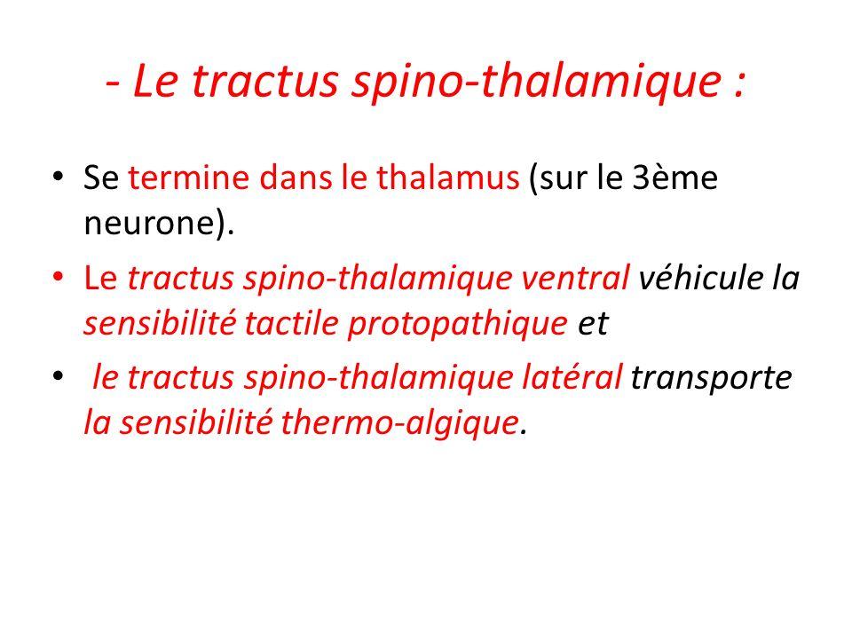- Le tractus spino-thalamique : Se termine dans le thalamus (sur le 3ème neurone). Le tractus spino-thalamique ventral véhicule la sensibilité tactile