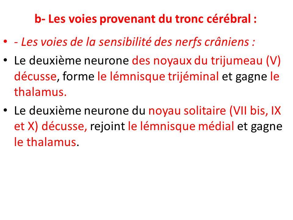 b- Les voies provenant du tronc cérébral : - Les voies de la sensibilité des nerfs crâniens : Le deuxième neurone des noyaux du trijumeau (V) décusse,