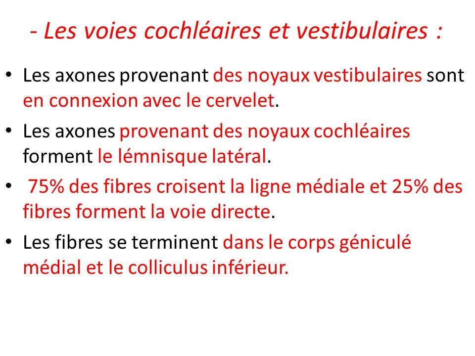 - Les voies cochléaires et vestibulaires : Les axones provenant des noyaux vestibulaires sont en connexion avec le cervelet. Les axones provenant des