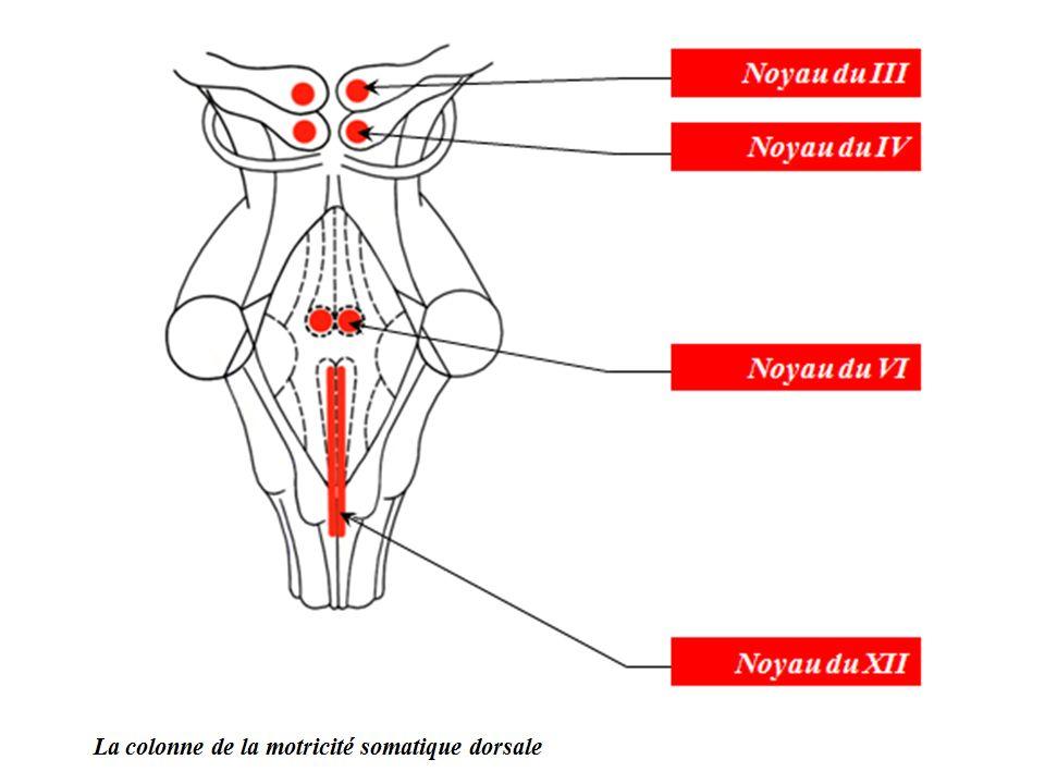 b- La colonne de la motricité somatique ventrale Elle est située un peu plus en avant et en dehors de la colonne précédente.