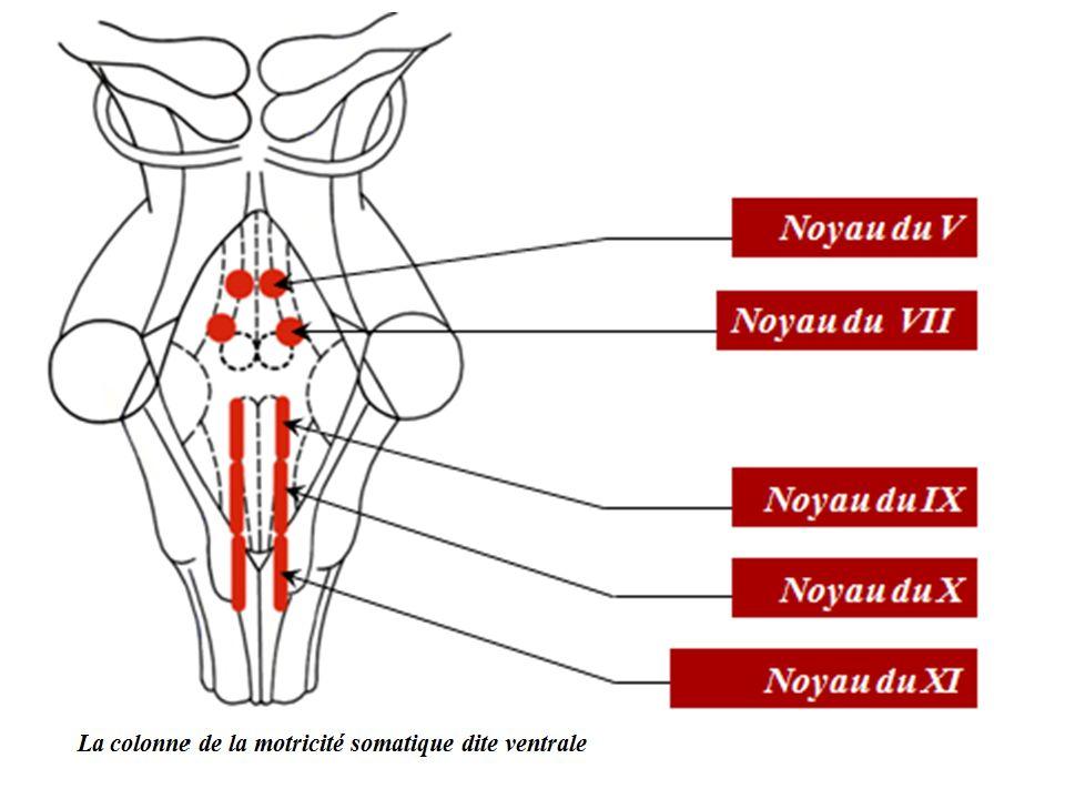 c- La colonne de la motricité viscérale Elle est située en dehors de deux précédentes.
