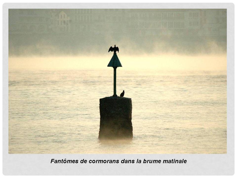 Fantômes de cormorans dans la brume matinale