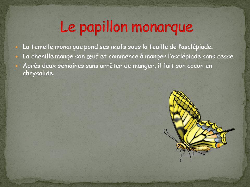 La femelle monarque pond ses œufs sous la feuille de lasclépiade. La chenille mange son œuf et commence à manger lasclépiade sans cesse. Après deux se