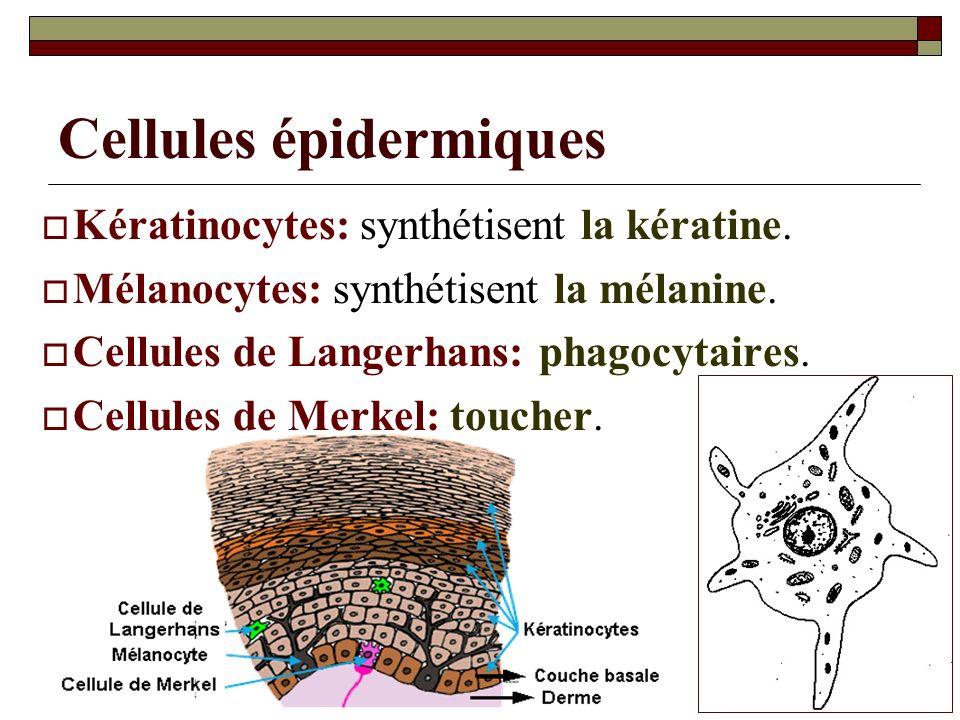 07/05/2014Dr. ABDALLAH - Système tégumentaire23 Cellules épidermiques Kératinocytes: synthétisent la kératine. Mélanocytes: synthétisent la mélanine.