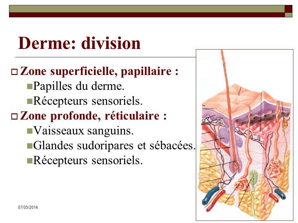 07/05/201427 Derme: division Zone superficielle, papillaire : Papilles du derme. Récepteurs sensoriels. Zone profonde, réticulaire : Vaisseaux sanguin