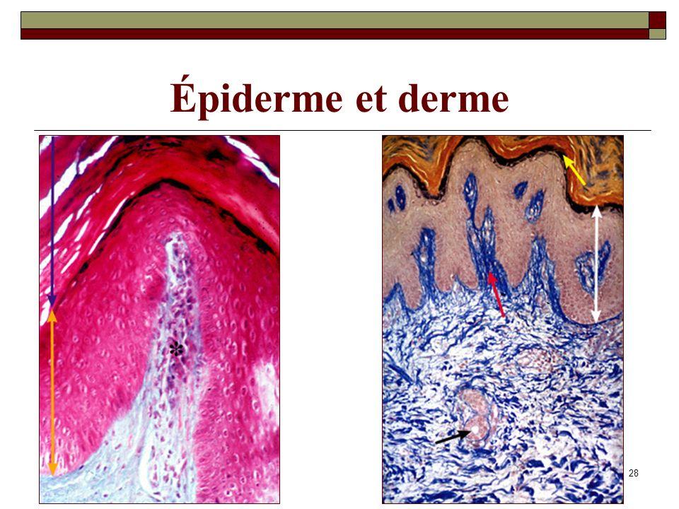 07/05/201428 Épiderme et derme