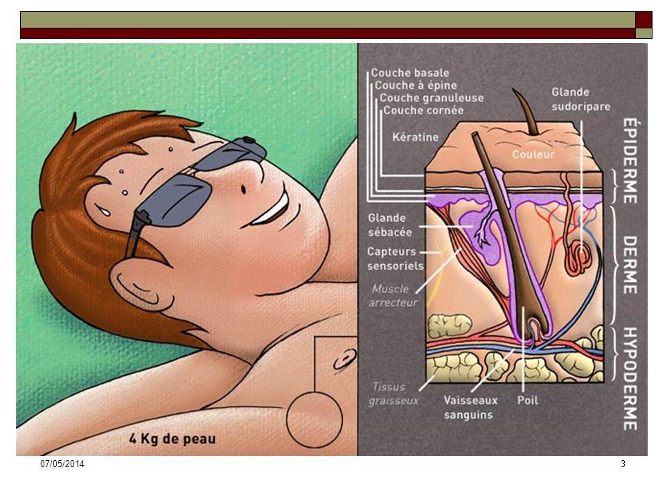 07/05/201464 Glandes sébacées Définition: glandes exocrines sécrétant le sébum.