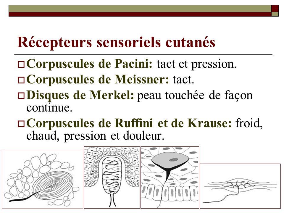 07/05/2014Dr. ABDALLAH - Système tégumentaire34 Récepteurs sensoriels cutanés Corpuscules de Pacini: tact et pression. Corpuscules de Meissner: tact.