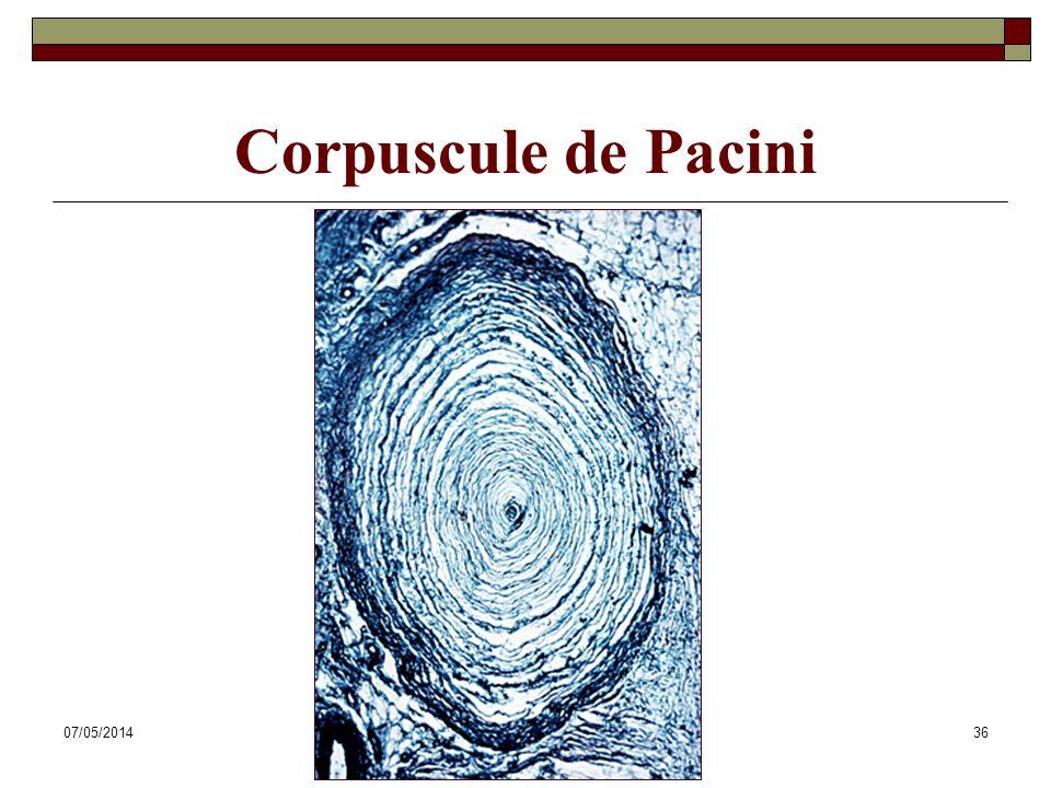 07/05/2014Dr. ABDALLAH - Système tégumentaire36 Corpuscule de Pacini