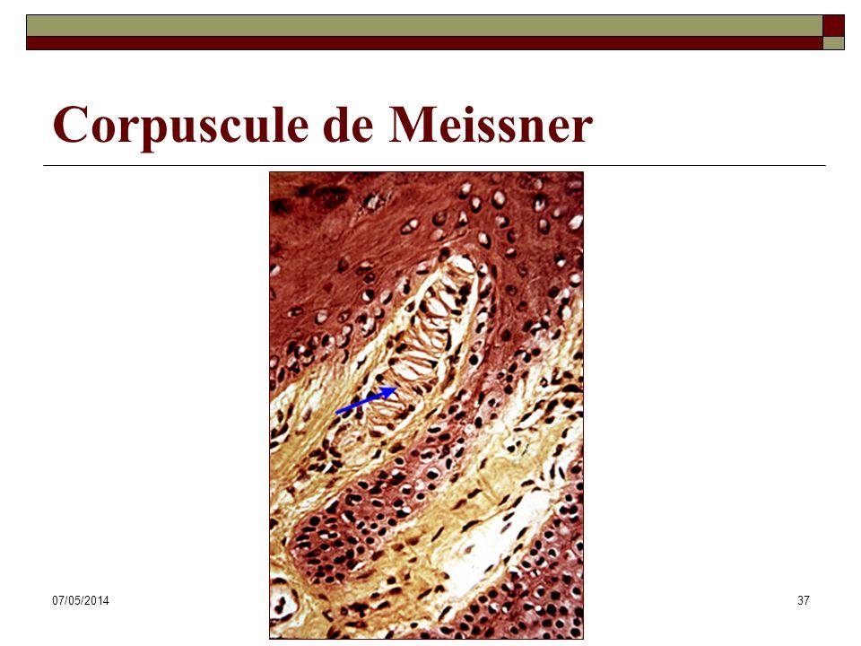 07/05/2014Dr. ABDALLAH - Système tégumentaire37 Corpuscule de Meissner