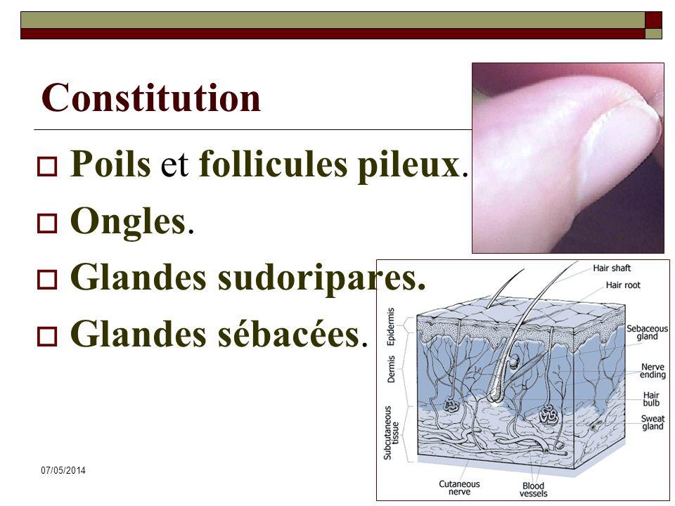 07/05/201442 Constitution Poils et follicules pileux. Ongles. Glandes sudoripares. Glandes sébacées.