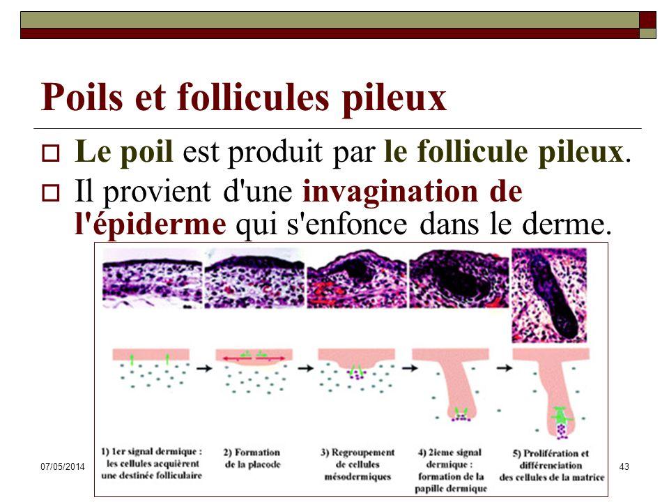 07/05/2014Dr. ABDALLAH - Système tégumentaire43 Poils et follicules pileux Le poil est produit par le follicule pileux. Il provient d'une invagination