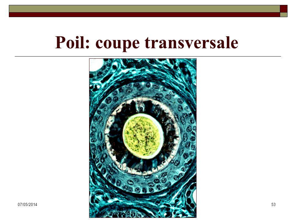07/05/2014Dr. ABDALLAH - Système tégumentaire53 Poil: coupe transversale