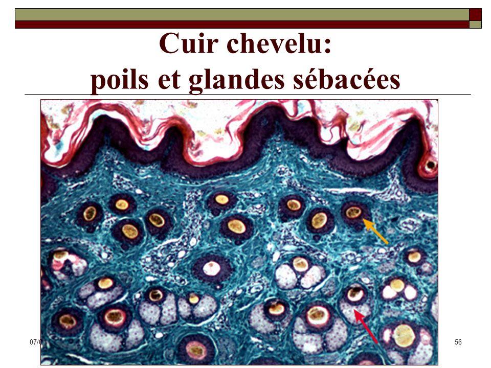 07/05/2014Dr. ABDALLAH - Système tégumentaire56 Cuir chevelu: poils et glandes sébacées