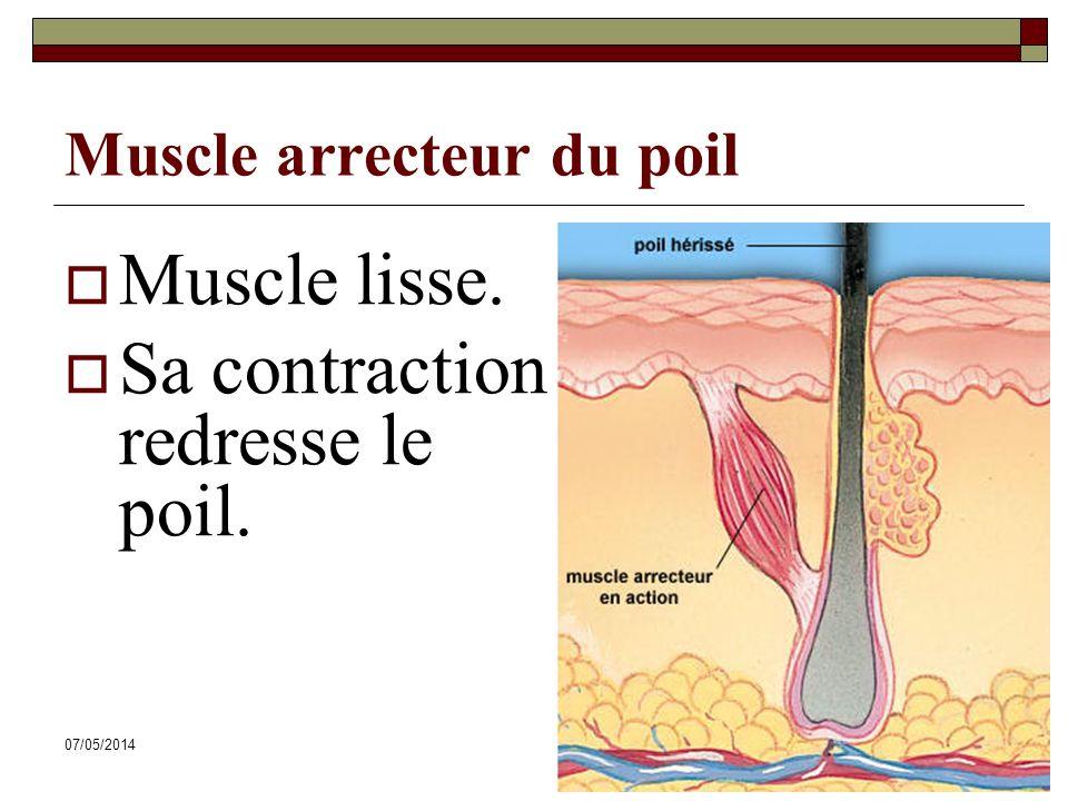 07/05/201457 Muscle arrecteur du poil Muscle lisse. Sa contraction redresse le poil.