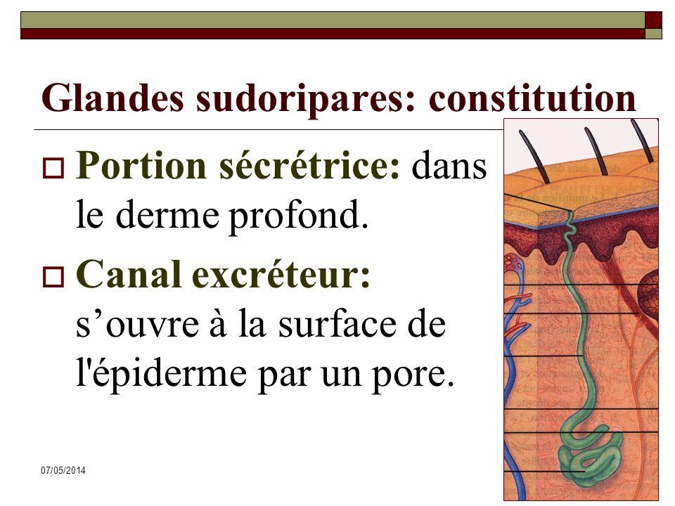 07/05/201462 Glandes sudoripares: constitution Portion sécrétrice: dans le derme profond. Canal excréteur: souvre à la surface de l'épiderme par un po