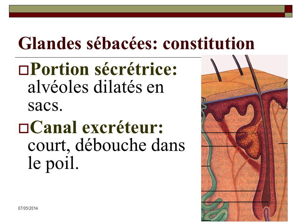 07/05/201465 Glandes sébacées: constitution Portion sécrétrice: alvéoles dilatés en sacs. Canal excréteur: court, débouche dans le poil.