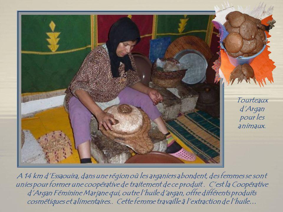 Les arganiers, dont les chèvres sont friandes…