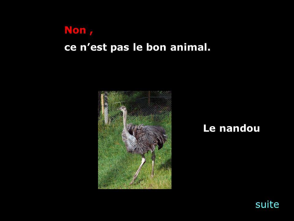suite Non, ce nest pas le bon animal. Le nandou