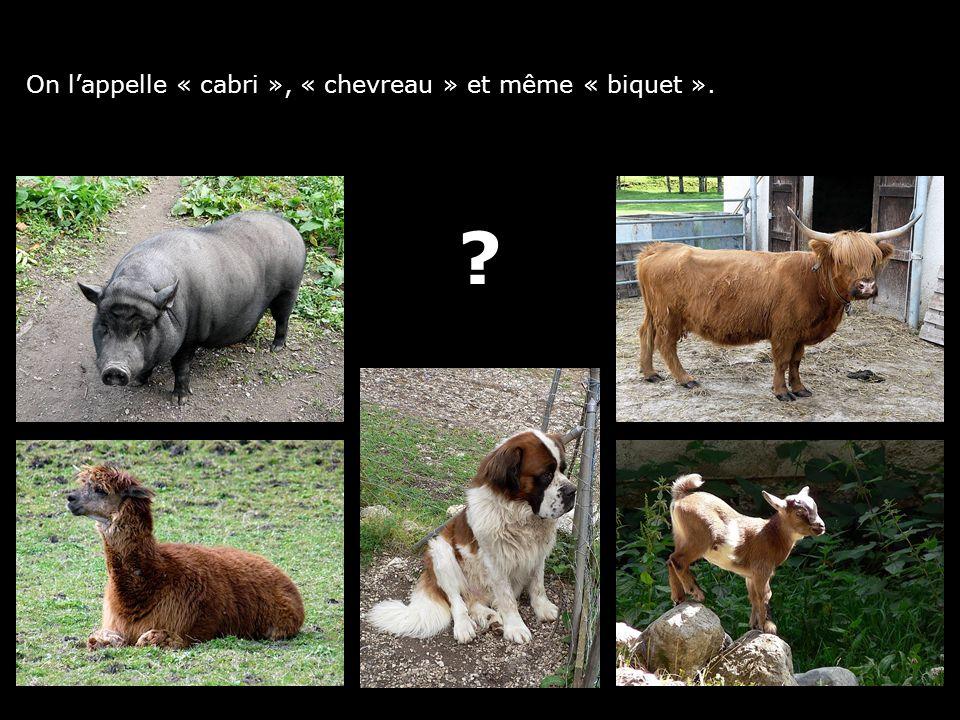 On lappelle « cabri », « chevreau » et même « biquet ».