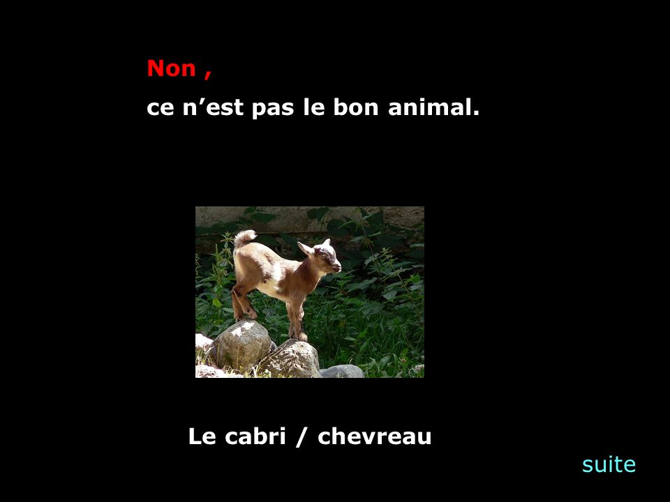 suite Non, ce nest pas le bon animal. Le cabri / chevreau