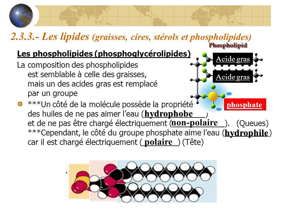 2.3.3.- Les lipides (graisses, cires, stérols et phospholipides) Les phospholipides (phosphoglycérolipides) La composition des phospholipides est semb