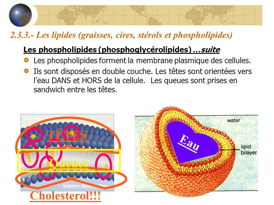 2.3.3.- Les lipides (graisses, cires, stérols et phospholipides) Les phospholipides (phosphoglycérolipides) …suite Les phospholipides forment la membr