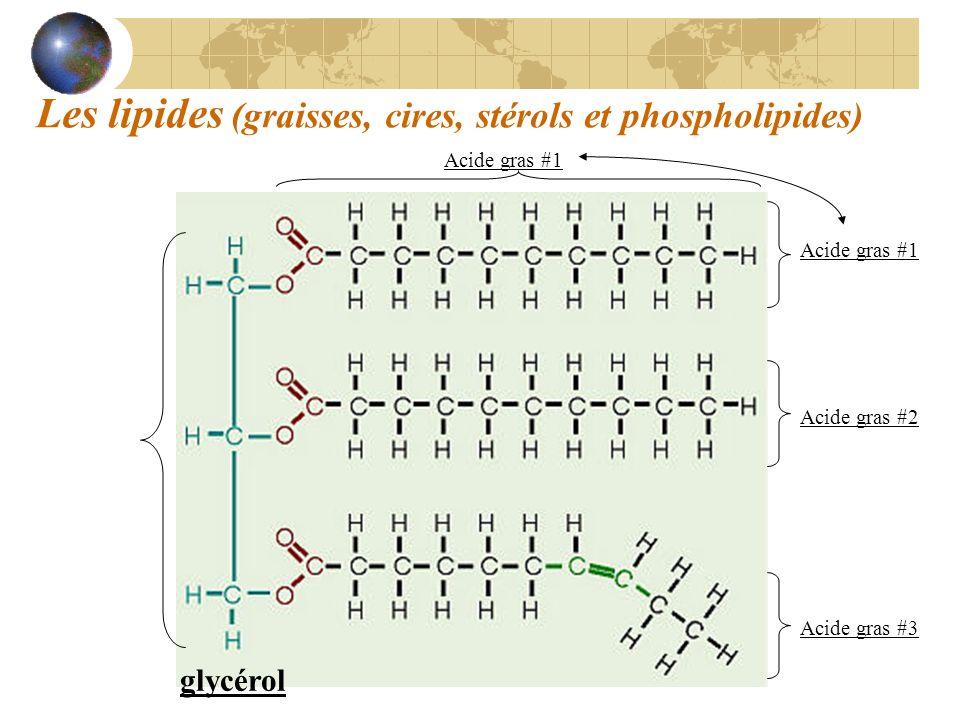 Les lipides (graisses, cires, stérols et phospholipides) glycérol Acide gras #1 Acide gras #2 Acide gras #3 Acide gras #1